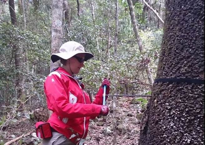 Heather Coring a Hoop Pine Picture