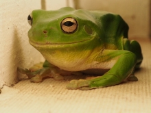 a green tree frog