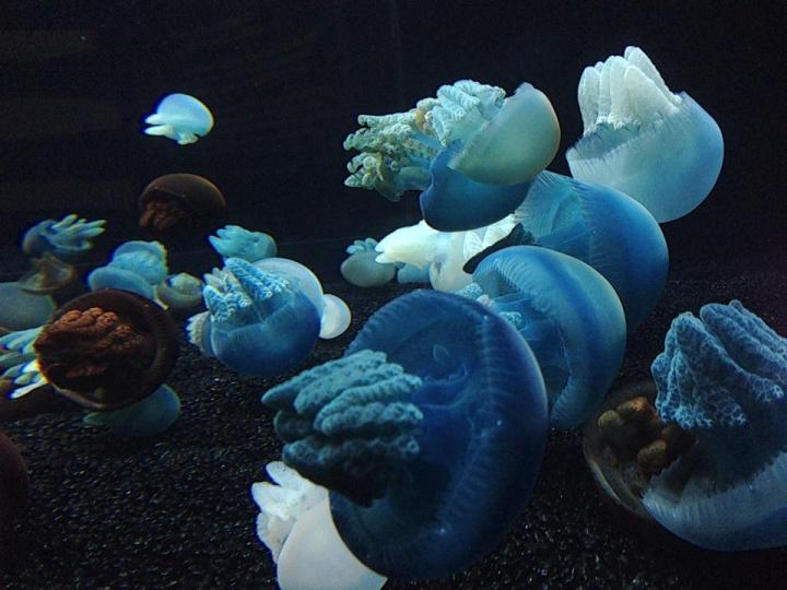 How robust is the evidence that human activities cause jellyfish blooms?