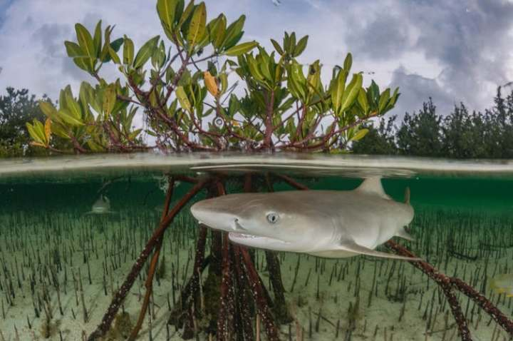 From sharks in seagrass to manatees in mangroves, we've found large marine species in some surprisingplaces