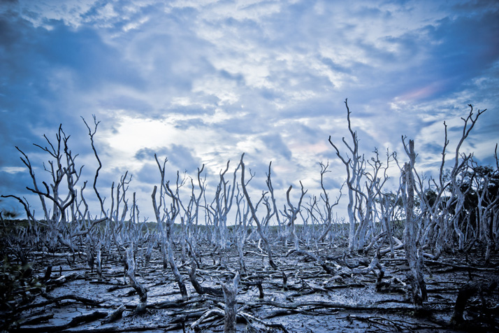 While Australia burns under a changing climate, our mangroves die-off