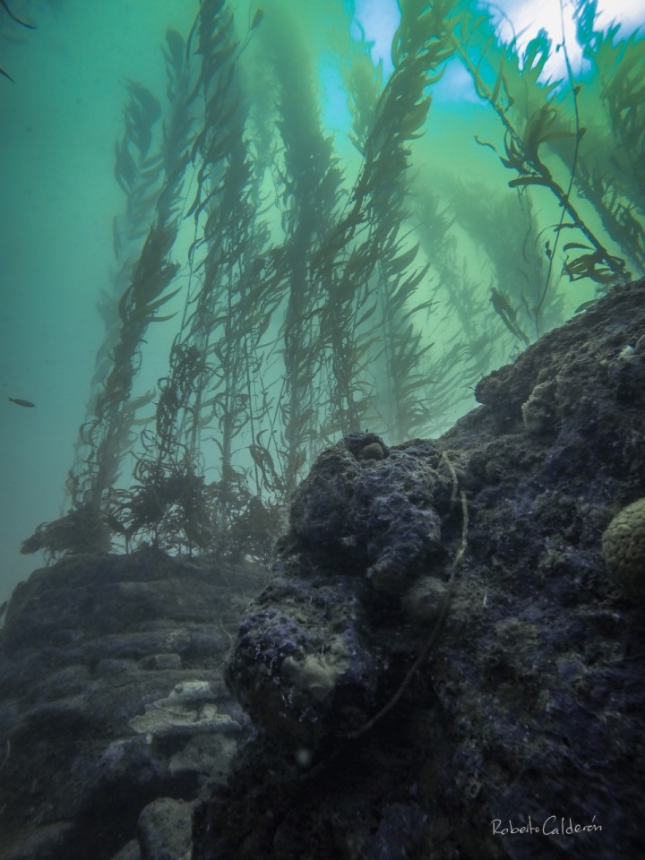 The forgotten forests of the sea: Are they also threatened by climate change?